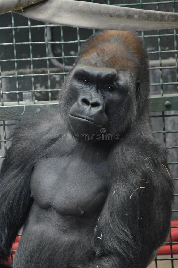 Gorilla di pianura occidentale che si siede sulla terra immagini stock libere da diritti