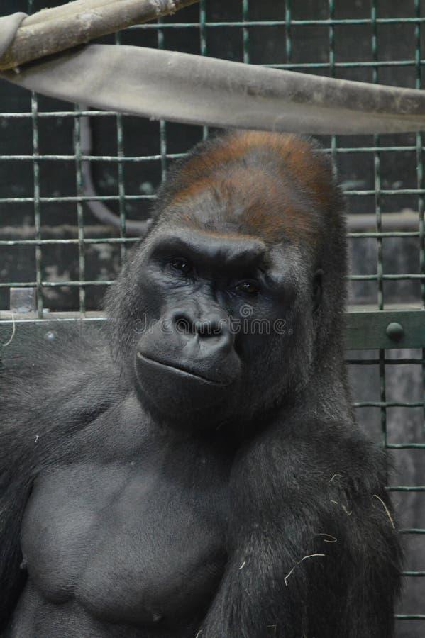 Gorilla di pianura occidentale che si siede sulla terra immagine stock