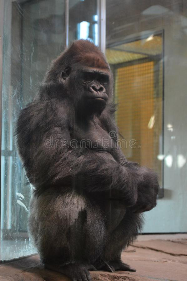 Gorilla di pianura occidentale che si siede sulla terra fotografia stock