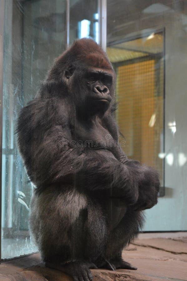 Gorilla di pianura occidentale che si siede sulla terra fotografie stock libere da diritti