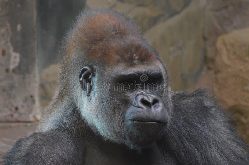 Gorilla di pianura occidentale che si siede sulla terra fotografia stock libera da diritti