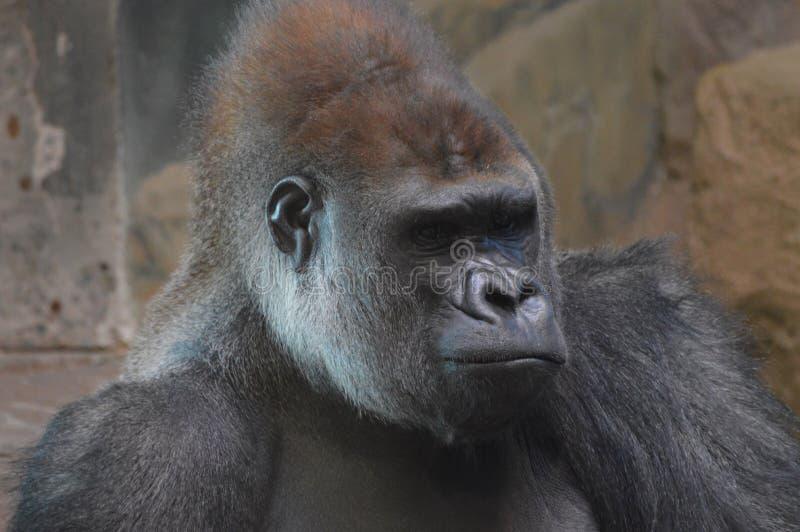 Gorilla di pianura occidentale che si siede sulla terra immagine stock libera da diritti