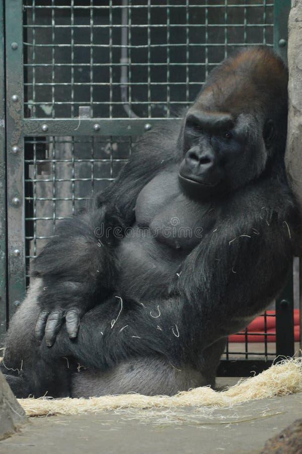 Gorilla di pianura occidentale che si siede sulla terra fotografie stock