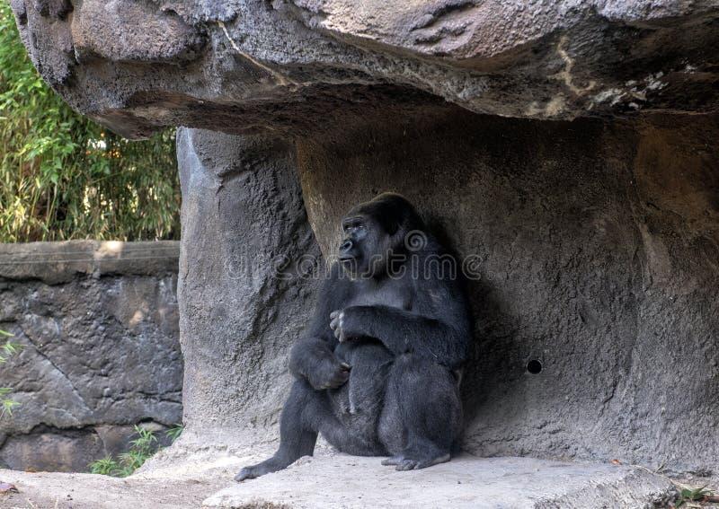 Gorilla di pianura occidentale con il bambino, Dallas Zoo immagini stock