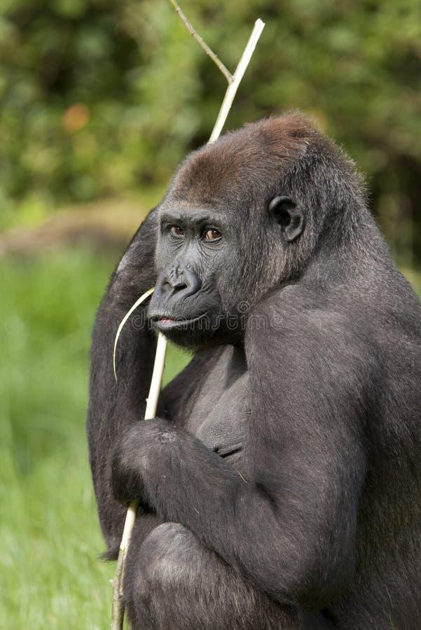 Gorilla di pianura occidentale femminile fotografie stock