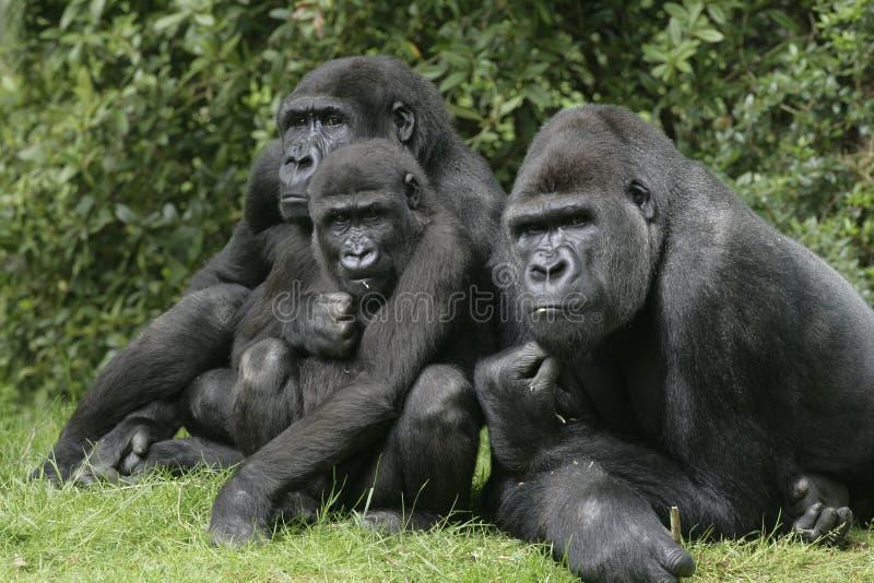 Gorilla di pianura occidentale, gorilla della gorilla fotografie stock libere da diritti