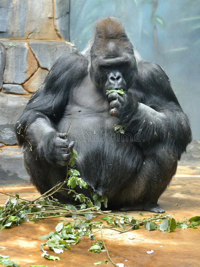 Gorilla di pianura occidentale maschio con i rami saporiti fotografia stock