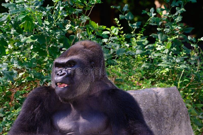 Gorilla di pianura occidentale maschio del Silverback immagini stock libere da diritti