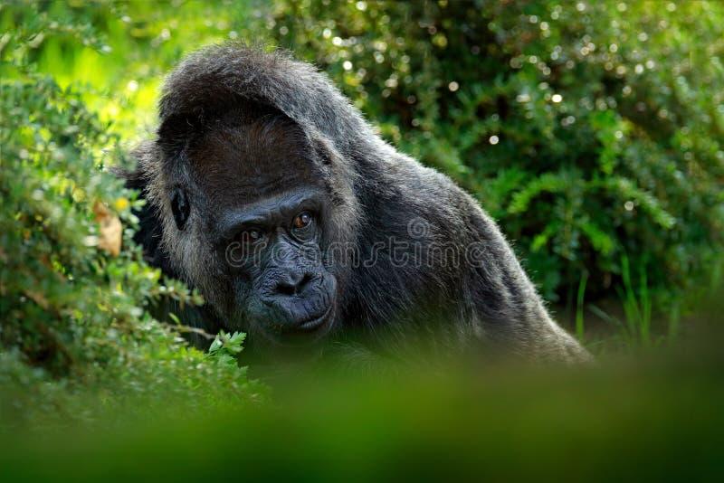 Gorilla di pianura occidentale, ritratto capo del dettaglio con i bei occhi Foto del primo piano di grande scimmia nera selvaggia immagini stock libere da diritti