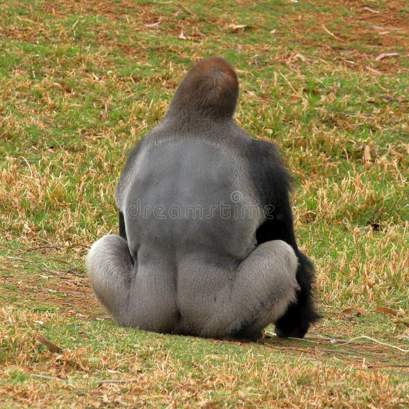 Gorilla di pianura occidentale - Silverback fotografie stock libere da diritti