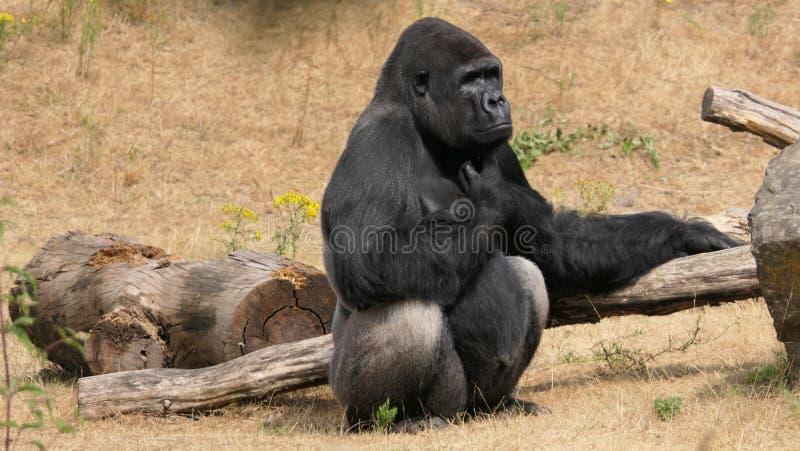 Gorilla di pianura occidentale immagini stock libere da diritti
