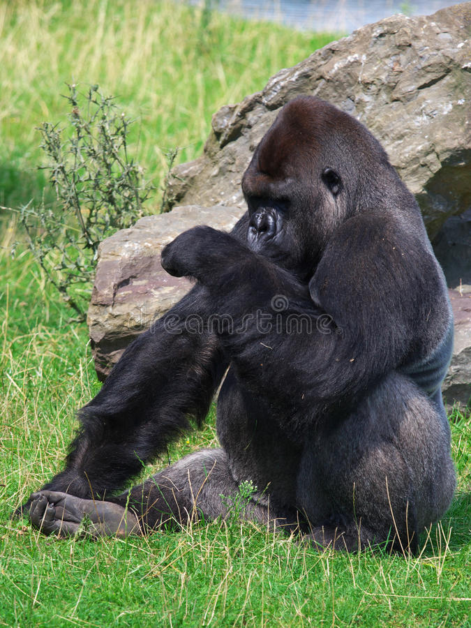 Gorilla di Silverback che cerca il tempo immagini stock