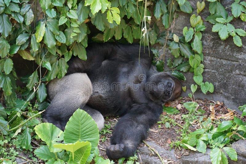 Gorilla die een dutje nemen bij een dierentuin stock foto's