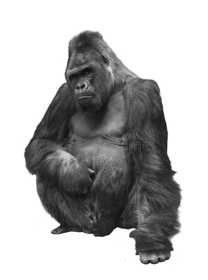 Gorilla, die Familie von Primas auf weißem Hintergrund lizenzfreie stockfotos