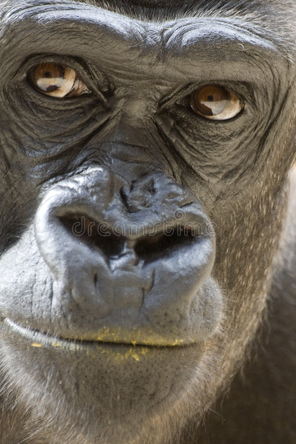 Gorilla with dirty lip. Male Gorilla with dirty lip (portrait stock photos