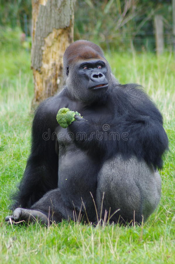 Gorilla Eating Broccoli stock photo