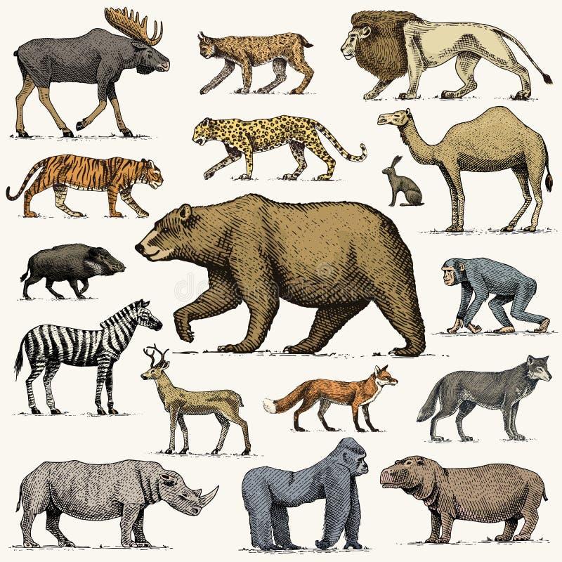 Gorilla, Elch- oder Eurasierelche, Kamel und Rotwild, Nashorn Hasen, Wolf und Bär mit Löwe und Tiger gravierten die gezeichnete H vektor abbildung