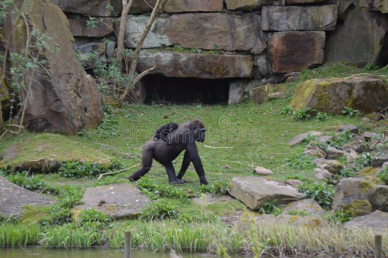 Gorilla en baby royalty-vrije stock afbeeldingen
