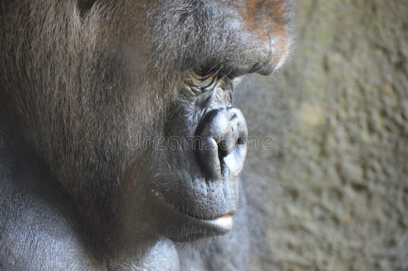 Gorilla för västra lågland upp slut arkivfoton