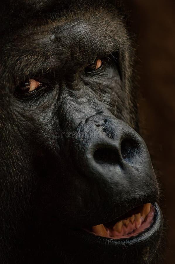 Gorilla face from closeup. Staring danger animal. Closeup big ape. stock image