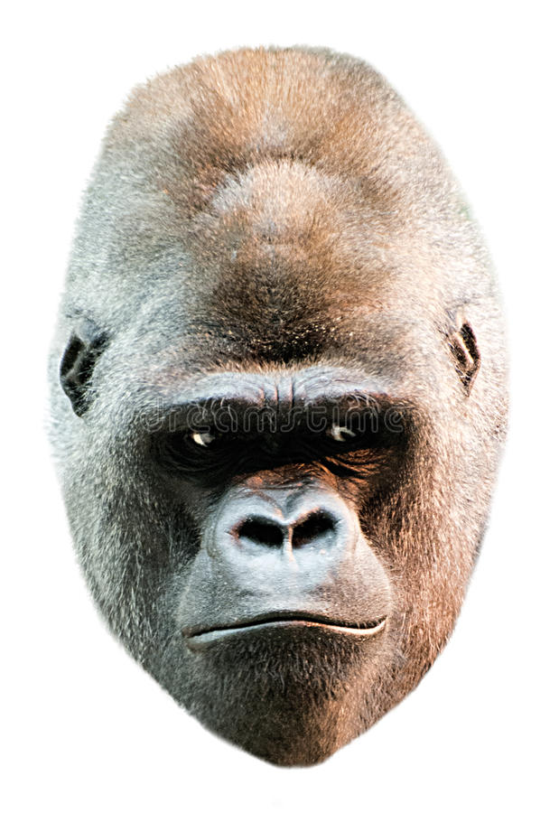 Download Gorilla Face Head Portrait Isolated On White Stock Photo - Image: 28752988