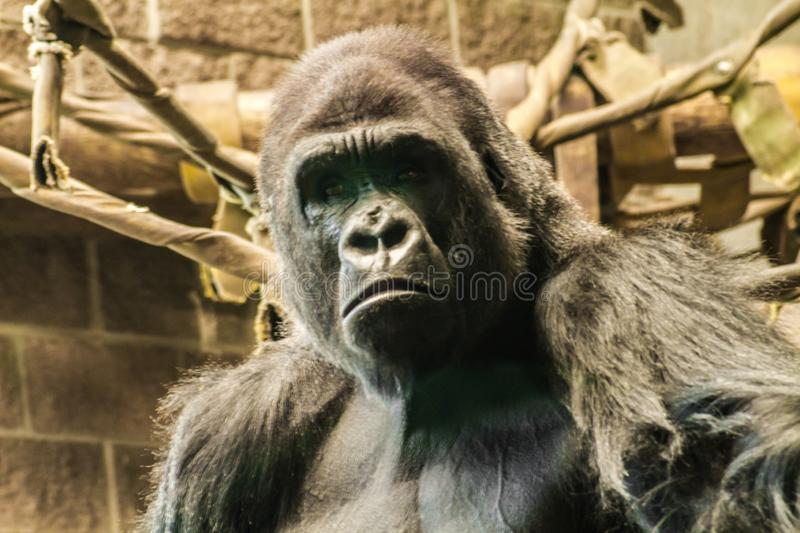 Gorilla Face triste fotos de stock royalty free