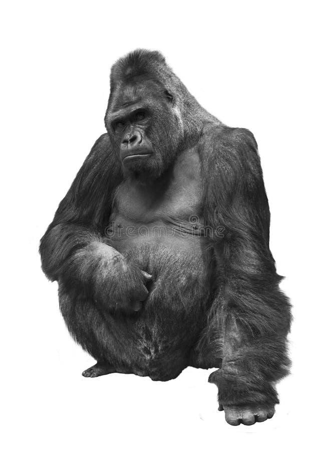 Gorilla familjen av primat på vit bakgrund royaltyfria foton