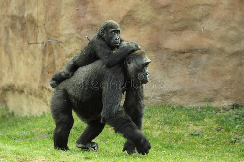 Gorilla family royalty free stock photo