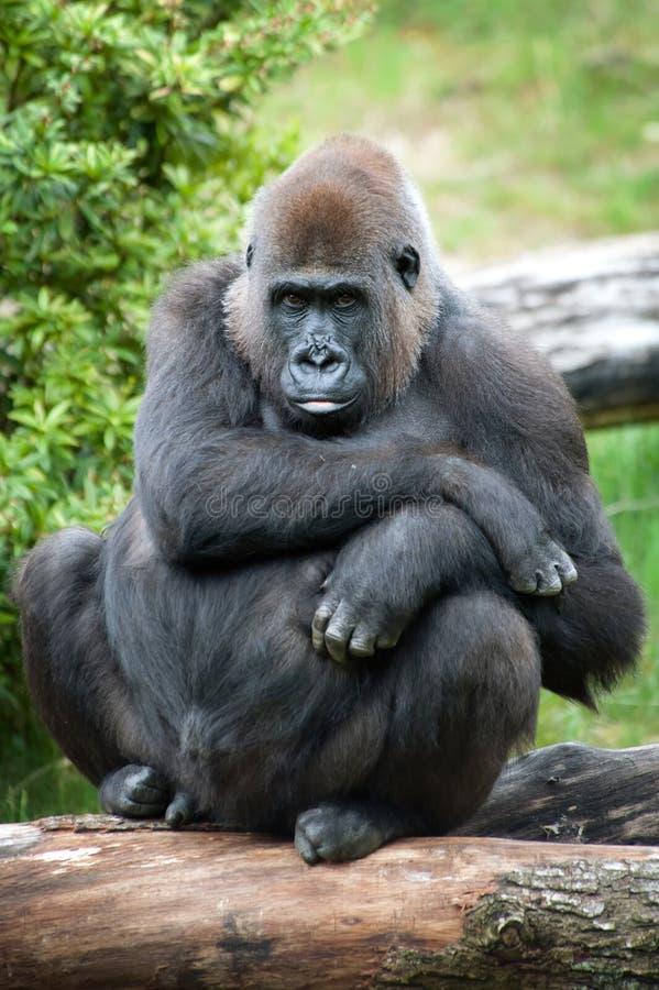Gorilla femminile del silverback immagine stock