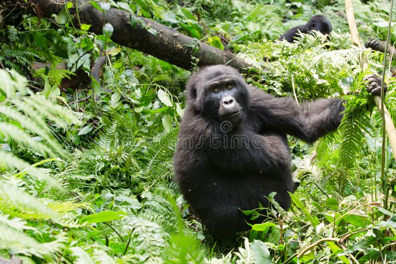 Gorilla watchful looking inbetween green plants and trees of the wild of mountain jungle in Uganda stock image