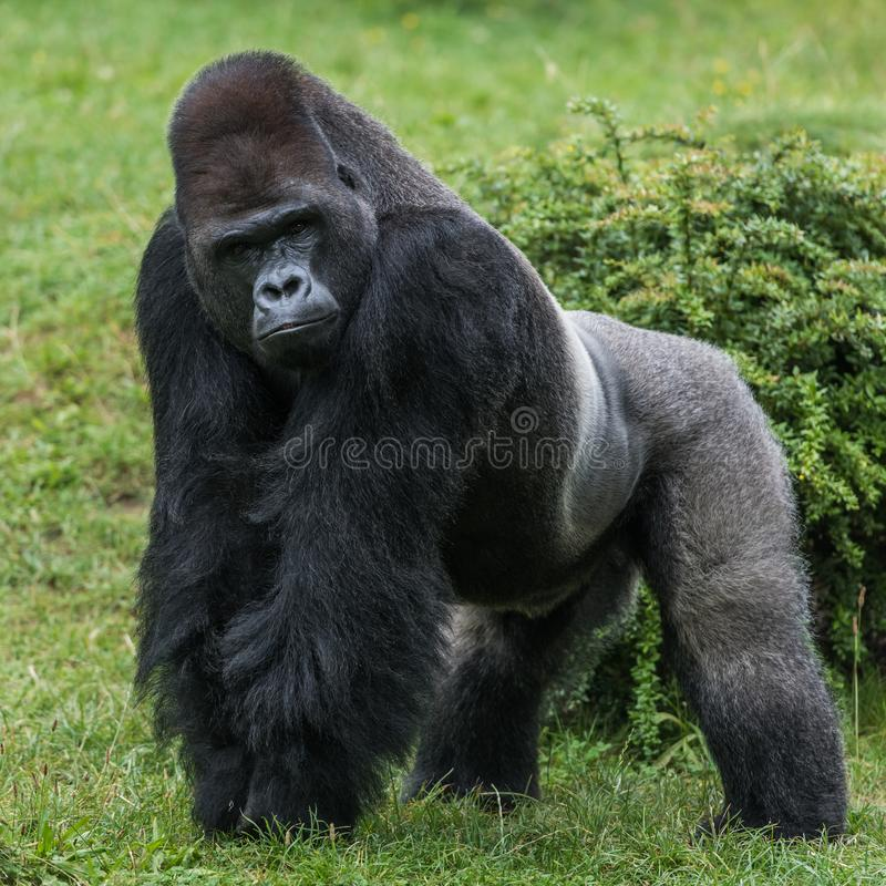 Gorilla in gras royalty-vrije stock afbeelding