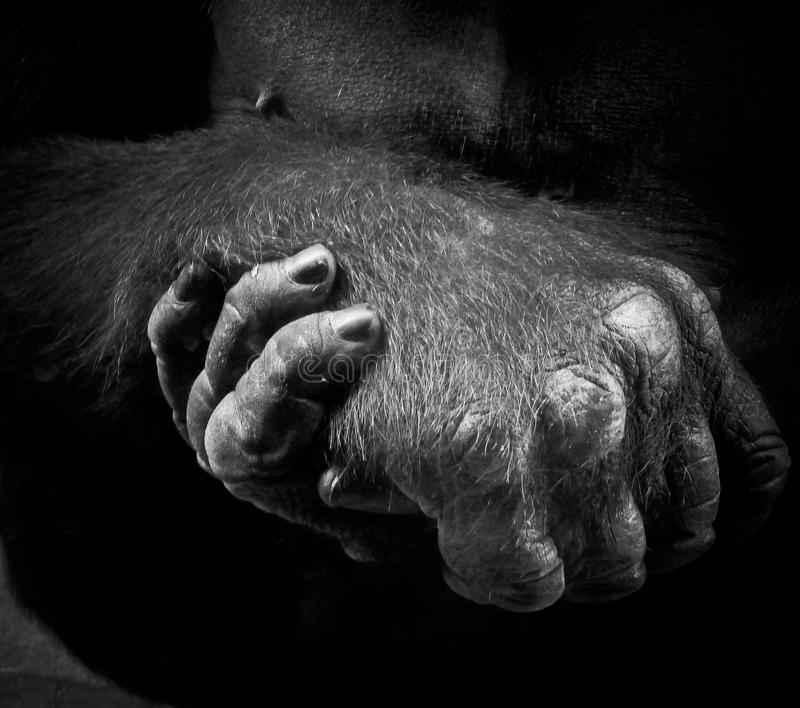 Gorilla Hands fotografia stock libera da diritti