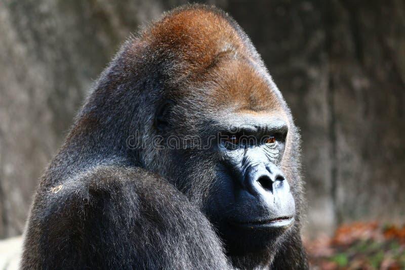 Gorilla Head Shot arkivbilder
