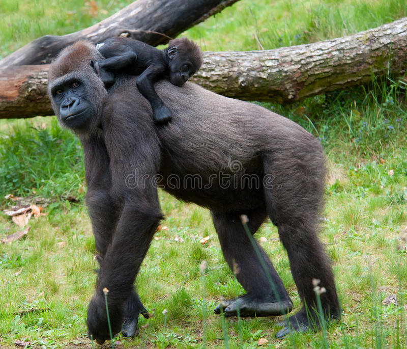 Download Gorilla and her baby stock photo. Image of black, africa - 20125006