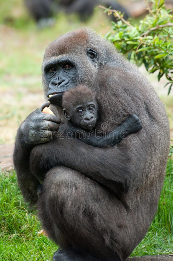 Gorilla and her baby royalty free stock photography