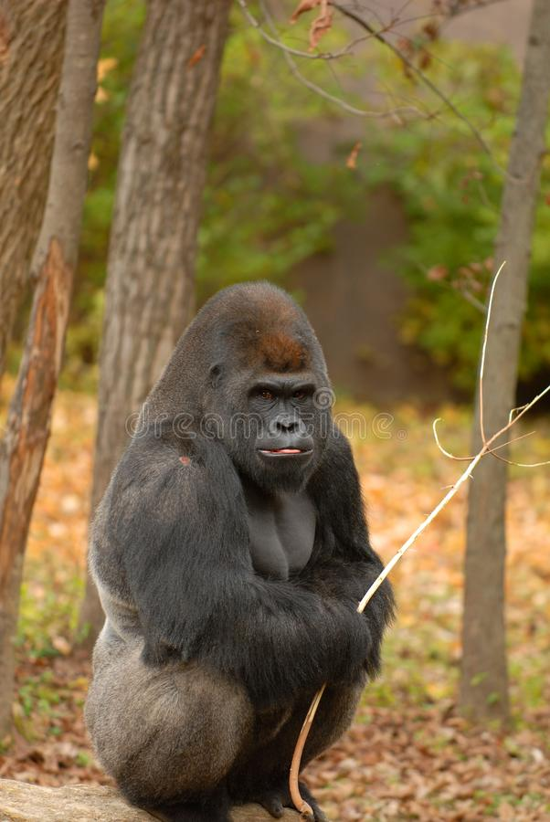 Gorilla And His Stick stock afbeeldingen