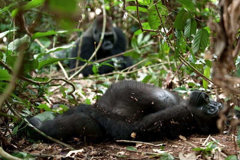 Gorilla i Kongofloden, gorilla för västra lågland i djungelKongofloden Stående av en gorilla för västra lågland (gorillagorillago royaltyfria foton