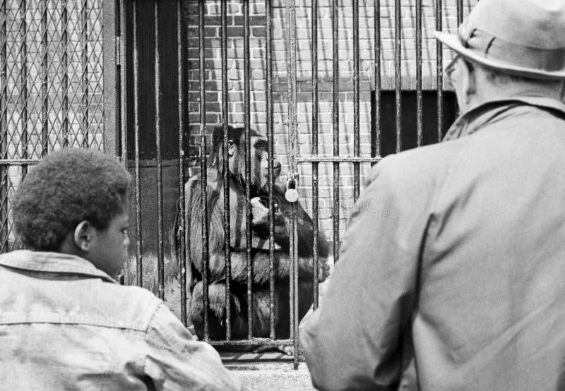Gorilla i zoo i 1972 arkivfoton