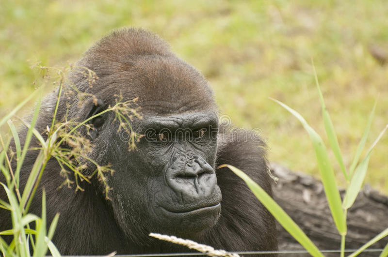 Download Gorilla stock image. Image of ingenious, together, funny - 33369111