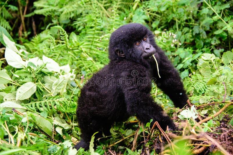 Gorilla inquisitrice del bambino immagini stock libere da diritti