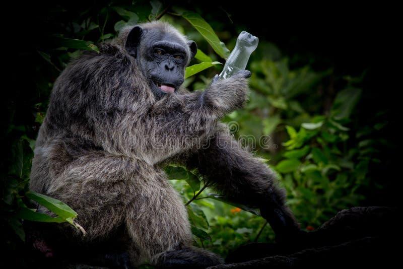 Gorilla ist, leere Flasche des Gorillagriffs in seiner Hand sehr spielerisch stockfotos