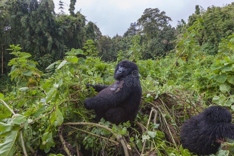 Gorilla Lady embarazada en Rwanda fotografía de archivo libre de regalías