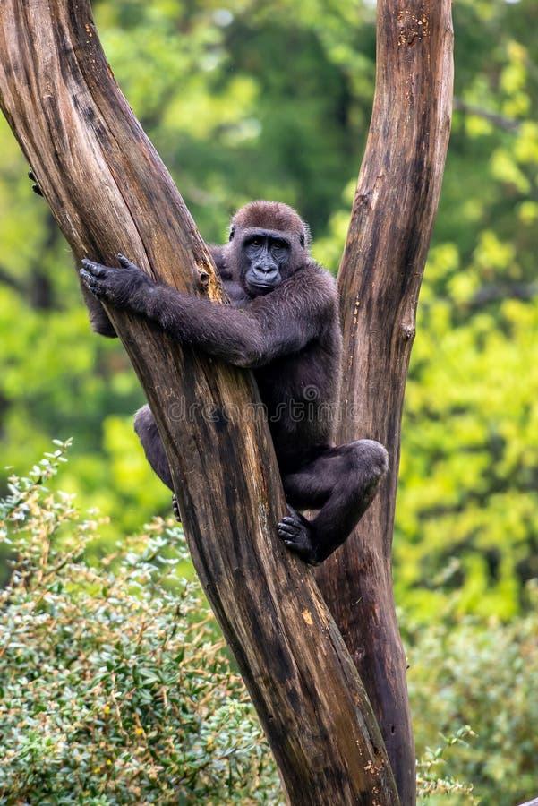 Gorilla liegt in einem Baum stockbild