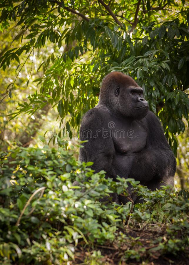 Gorilla looking into Forest. Gorilla looking into distance after hearing a sound royalty free stock images