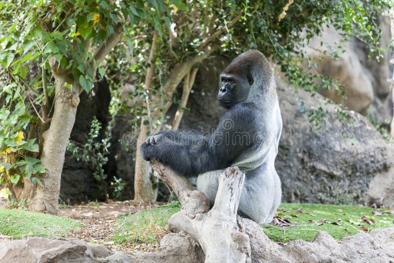 Gorilla in Loro-Parque. Tenerife. Spain. Gorilla sits on a stone in Loro-Parque. Tenerife. Spain royalty free stock photos