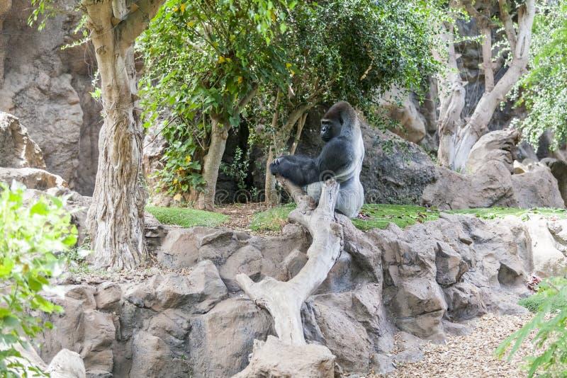 Gorilla in Loro Parque. Tenerife. Spain. Gorilla sits on a stone in Loro Parque. Tenerife. Spain stock photos
