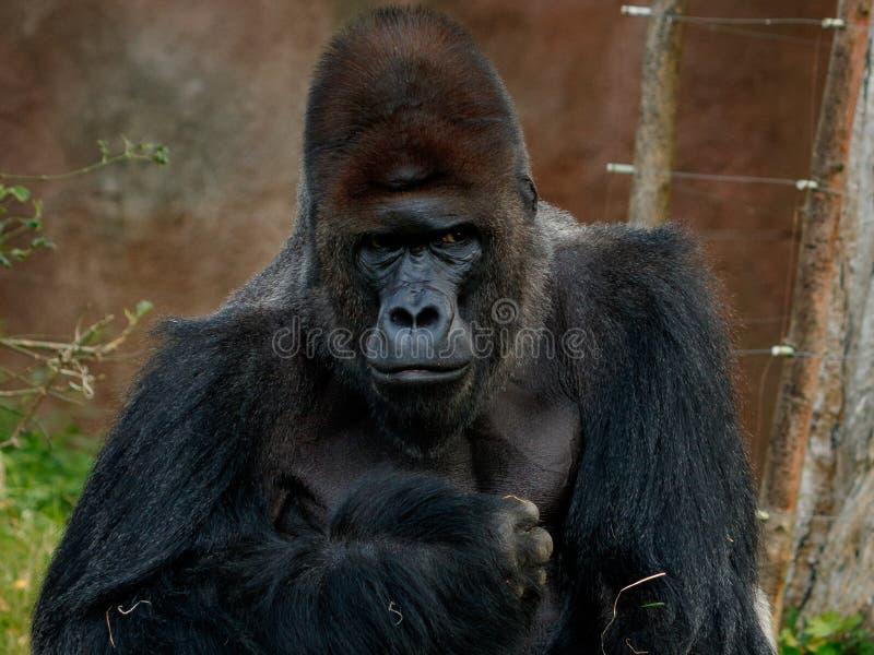 Gorilla männlicher Richard in Prag-ZOO lizenzfreies stockbild