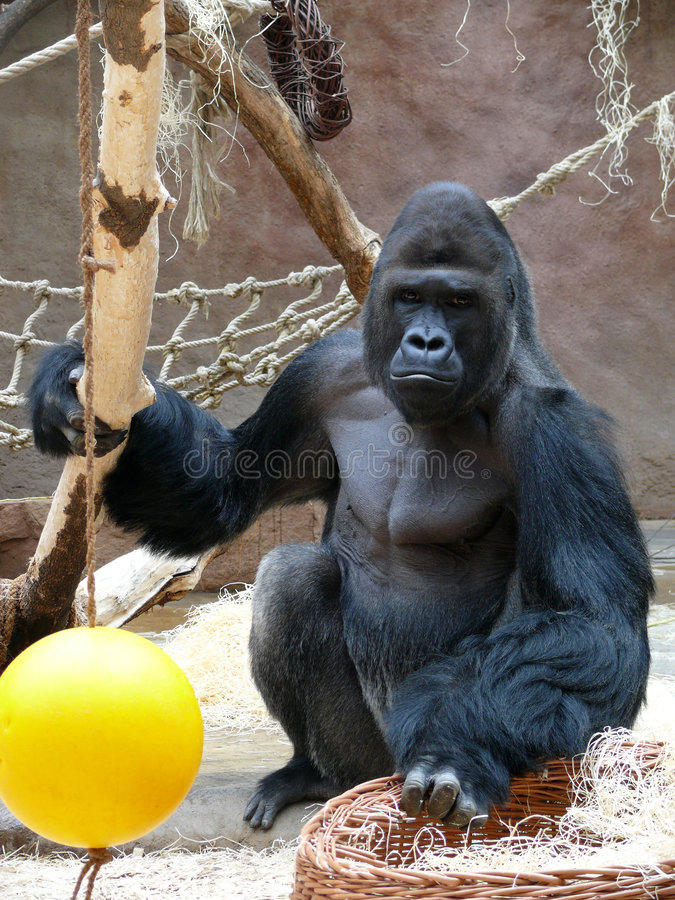 Gorilla male. In zoo in prague royalty free stock photography