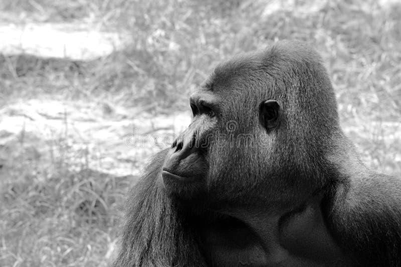 Gorilla Male Stående. B&W Arkivbild