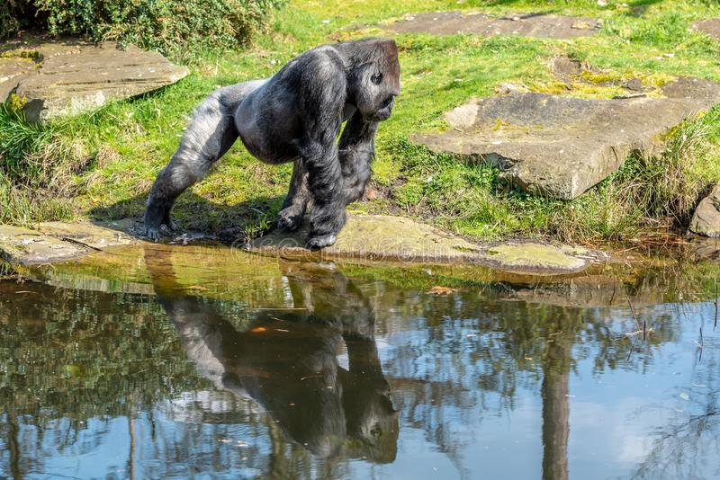 Gorilla man runs away from the water royalty free stock photos